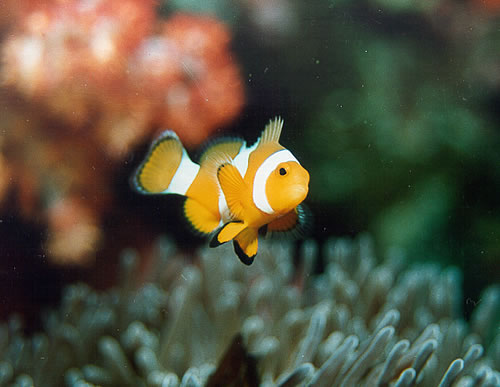 Clownfish, Similan Islands