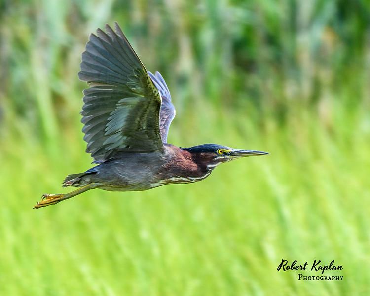 Green Heron-9068.jpg