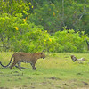Leopard and Peafowl in a meadow in Sri Lanka