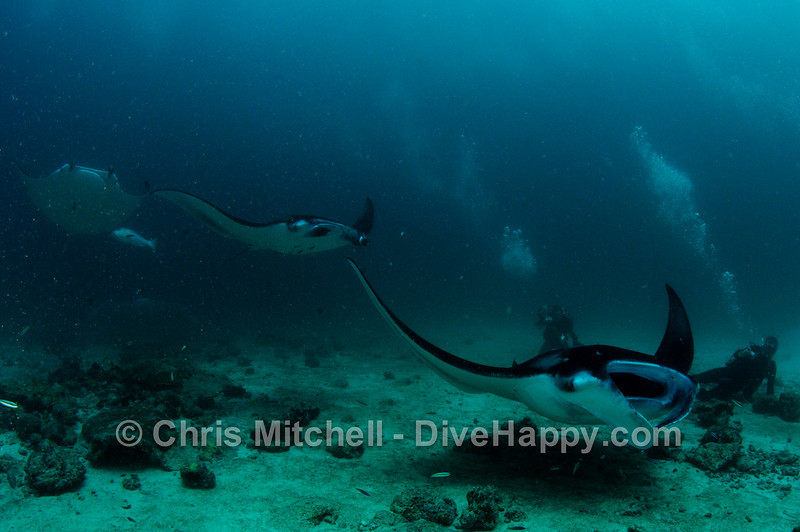 Manta Rays at Dhonkalo, Maldives