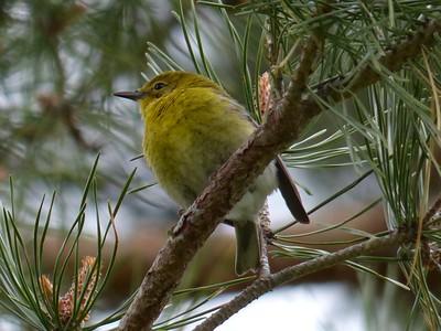 20160516 Pine Warbler