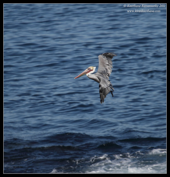 Brown Pelican landing, La Jolla Cove, San Diego County, California, October 2011