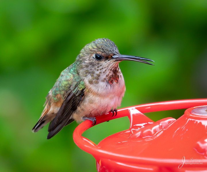 Allens Hummignbird