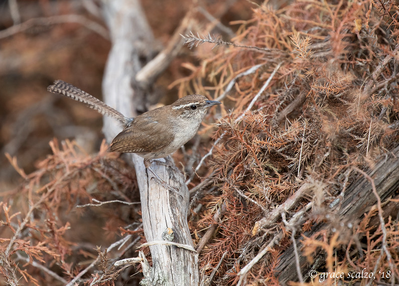 Bewick's wren in brush pile