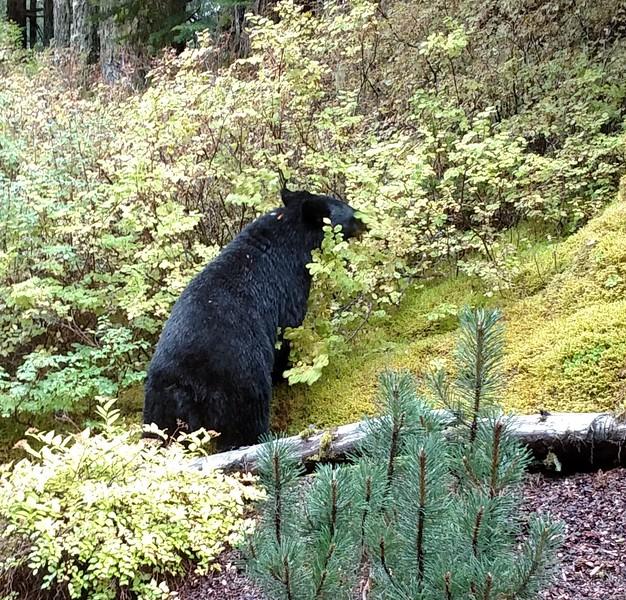 Bear after the berries.jpg