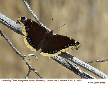 MourningCloak12420.jpg