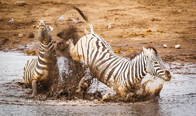 Jousting zebra 5