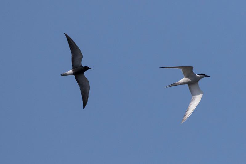 zwarte stern, black tern visdiefje, common tern