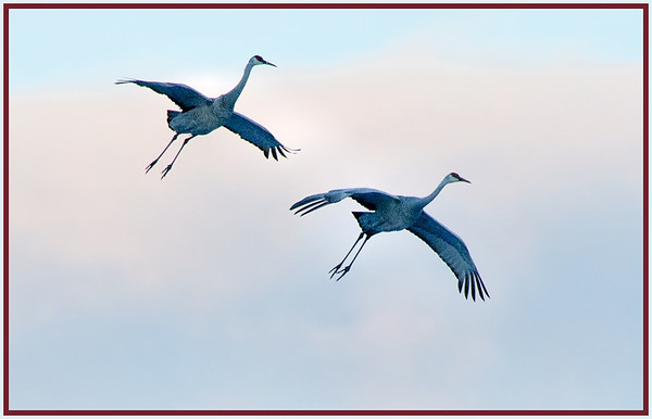 Sandhill Cranes CP 2-4-13