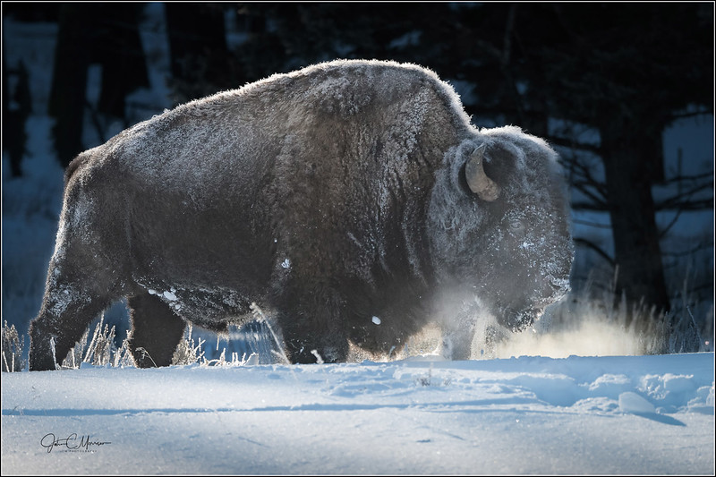JM8_5474 Frosted Steam Bison LPNr7W.jpg