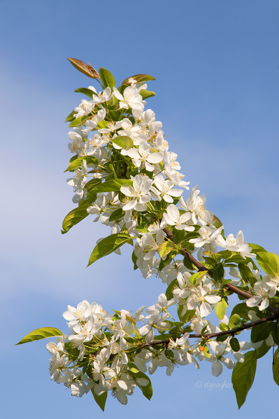 Trees_Crabapple Tree Blossoms_0239.jpg