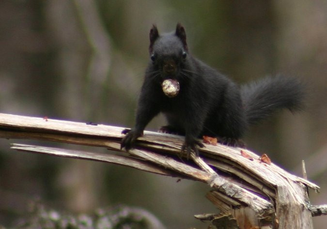 Melanistic Red Squirrel - Nine Mile River area March 22nd, 2010