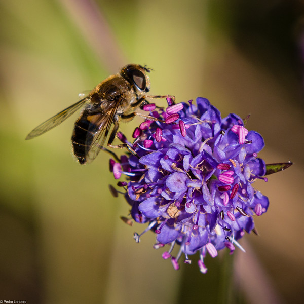 Devil's-bit Scabious and Visitor
