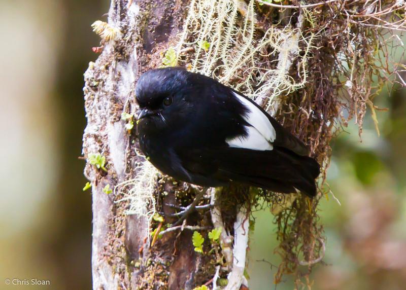 White-winged Robin at Kumul Lodge, Papua New Guinea (09-30-2013) 678.jpg
