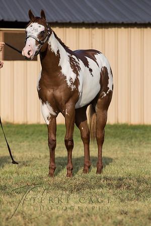Ray Barton Show Horses