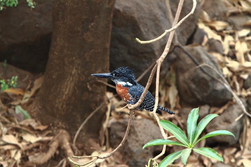 Giant Kingfisher.JPG