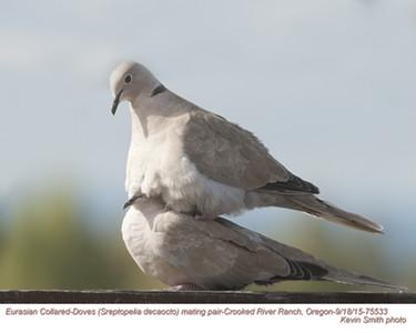 Eurasian Collared Doves P75533.jpg