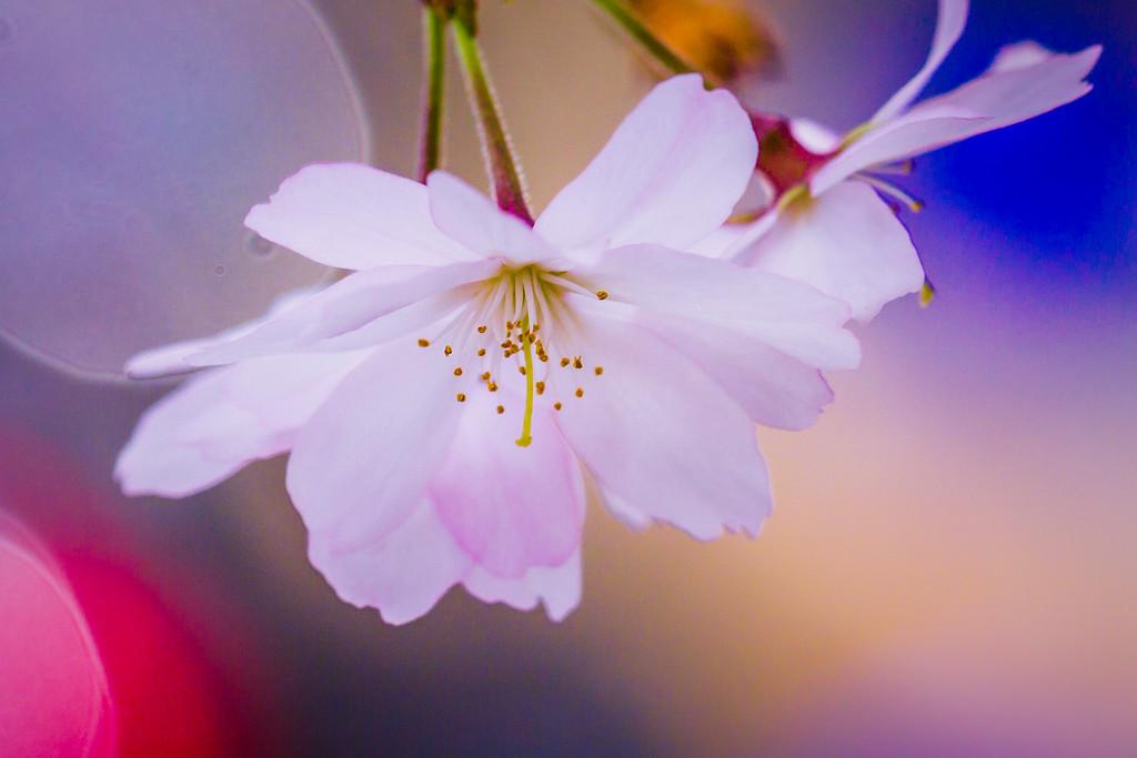 樱花,圣洁妩媚