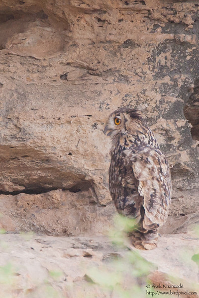 Rock (Indian) Eagle-Owl - Kutch, Gujrat, India