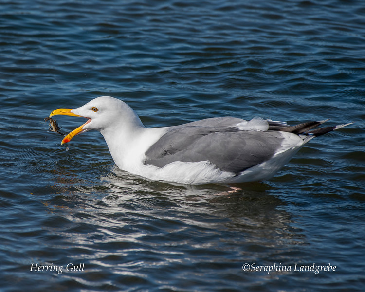 _DSC8116Herring gull Crab.jpg