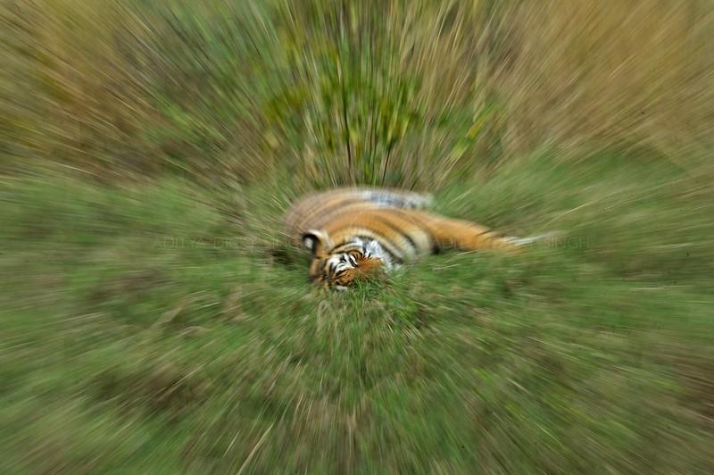 Abstract image of wild tiger in Ranthambhore using zoom burst