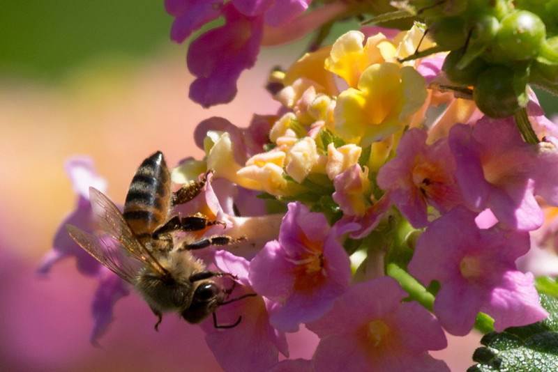 Upside down honey bee in lantana