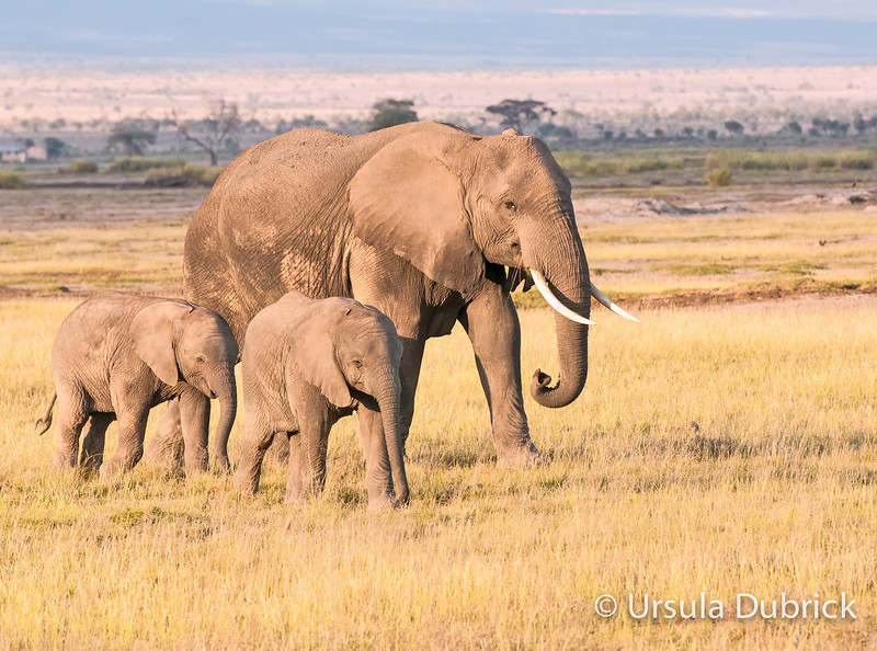 Three Elephants - Kenya