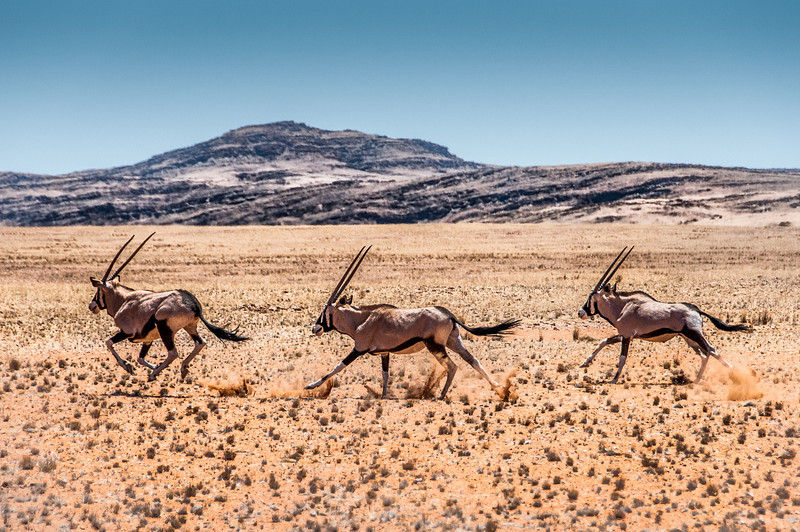 Gemsboks (Oryx gazella) in the Namib Desert, Namibia