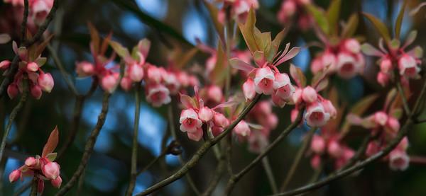 Enkianthus quinqueflorus (吊钟花)