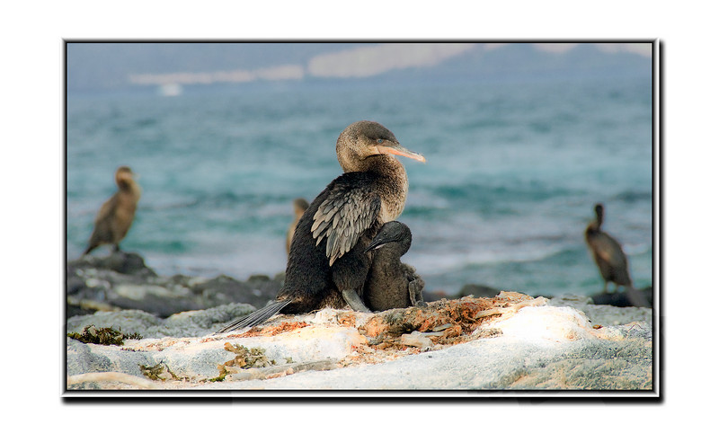 Meet The Cormorants from the Galapagos