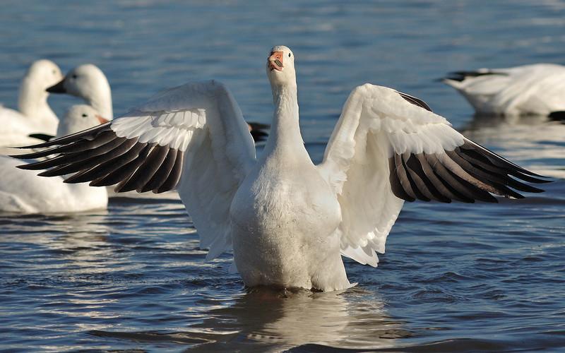 Oie des neiges au réservoire Beaudet de Victoriaville à la migration automnale/ Snow gease on migration