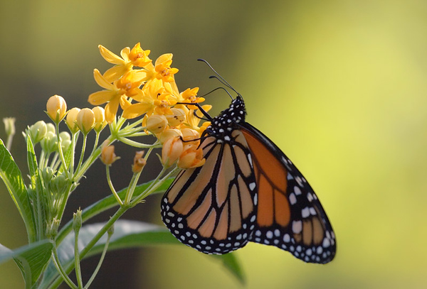 Monarch & flowers 2.jpg