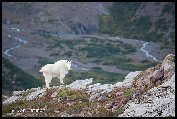 Mt Baker Goats