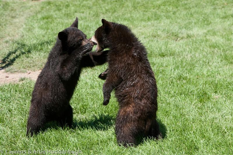 Young Bear (Cub) in Black Hills, SD  Filename: CEM009221-BlackHills-SD-USA.jpg