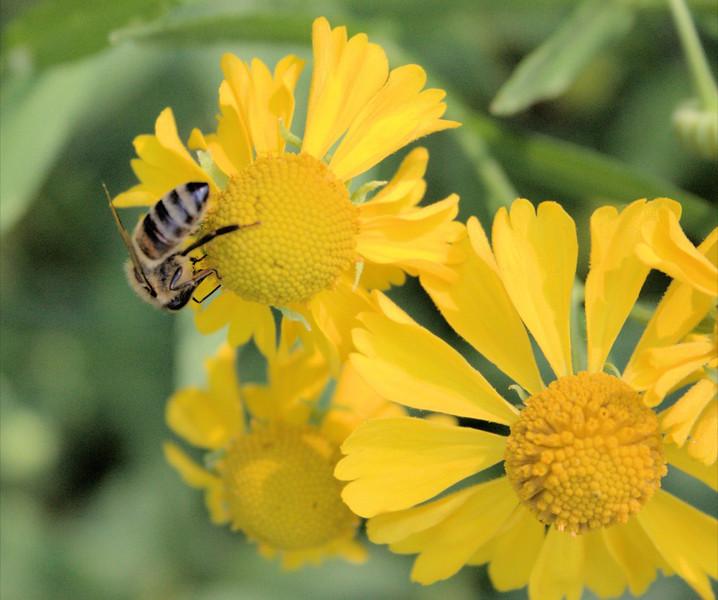 Bee and Flowers -Paula Oja.JPG