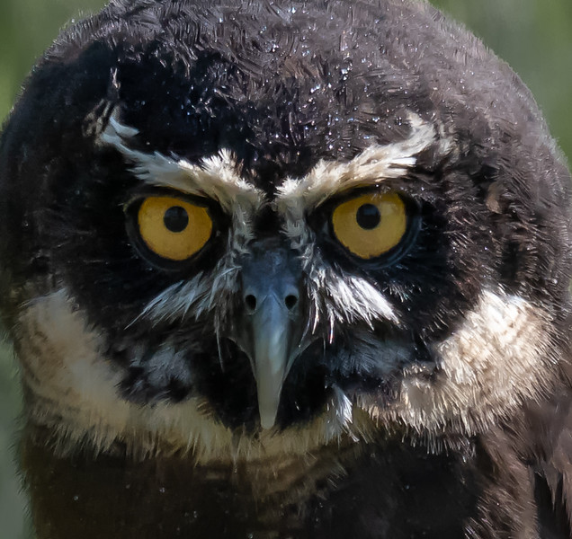 Spectacled Owl close up