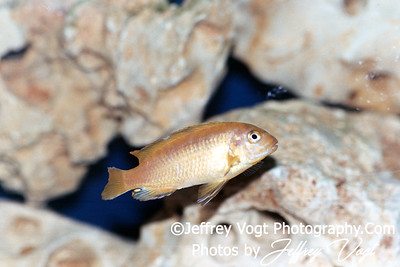 Tropical African Cichlid Fish