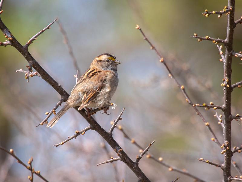 White-throated Sparrow Virtually Live 4 Sax-Zim Bog MN  P1055383.jpg
