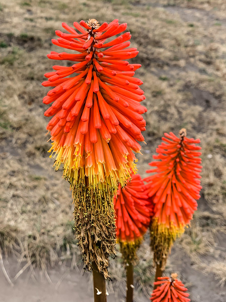 Kniphofia (Torch Lily or Red Hot Poker)