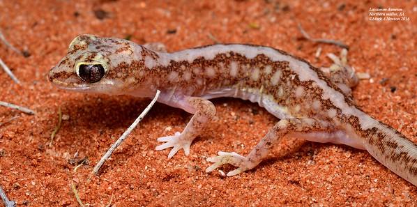 Lucaseum dameum (Beaded gecko)
