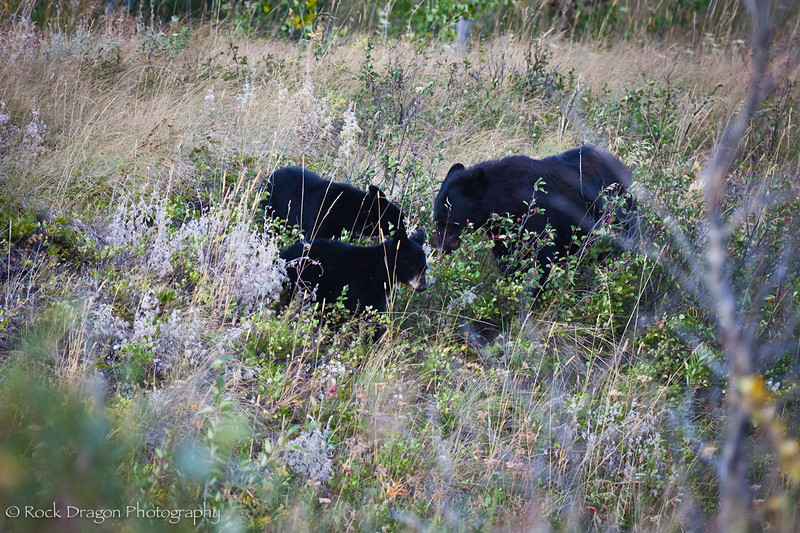 A Black Bear and cubs in Watetton Lakes National Park.
