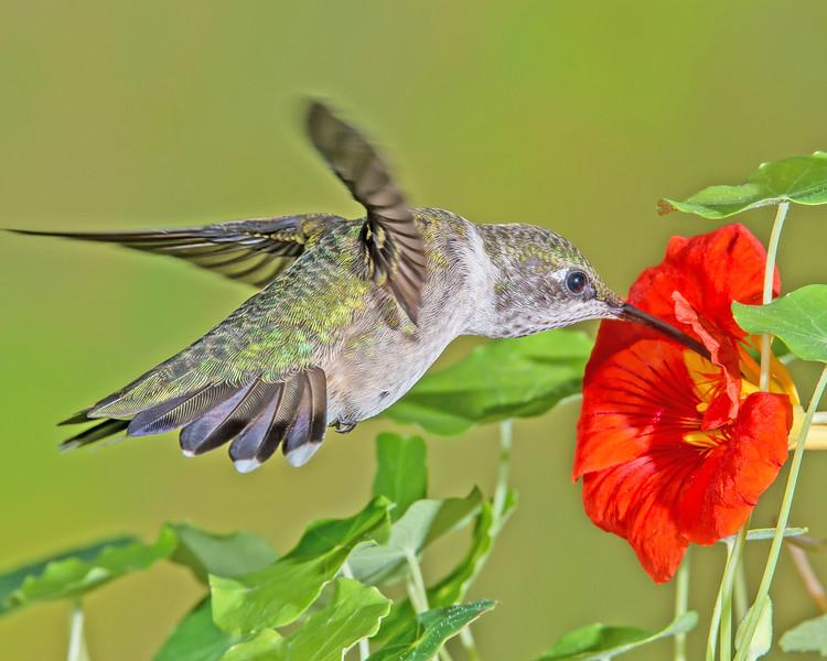 Hummingbird in the Nasturtium