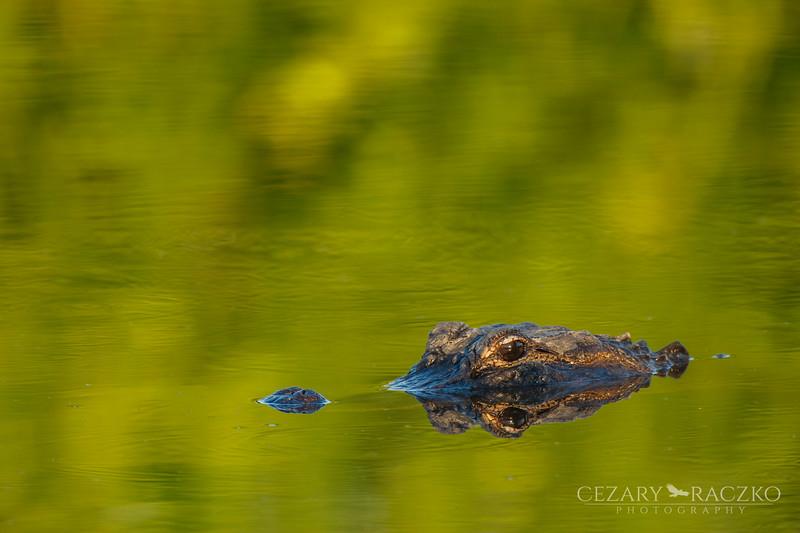 Alligator mississippiensis (American Alligator)