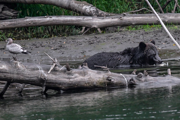 9-18-18 Grizzly Bears - Bella Coola BC