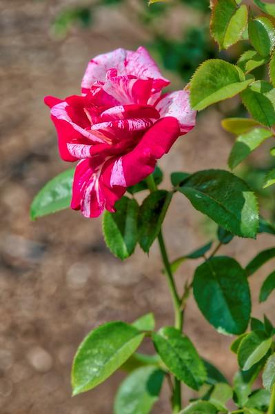 Ritter Park Rose Garden, WV, 003.jpg