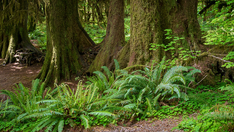 Hall of Mosses, Hoh Rainforest