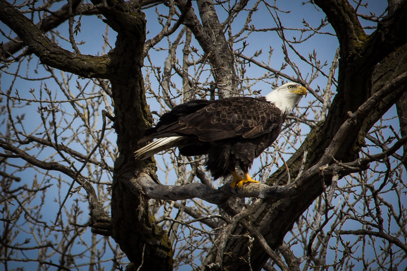 Eagle sitting gorgeous-7048.jpg