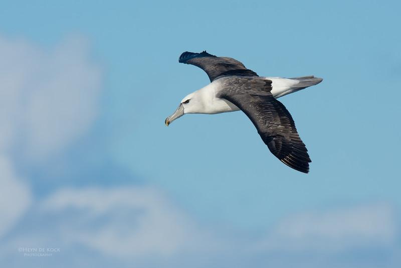 Shy Albatross, imm, Eaglehawk Neck Pelagic, TAS, May 2016-1.jpg