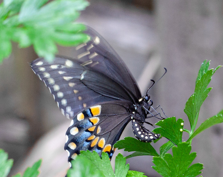 eastern black swallowtail laying eggs on parsley