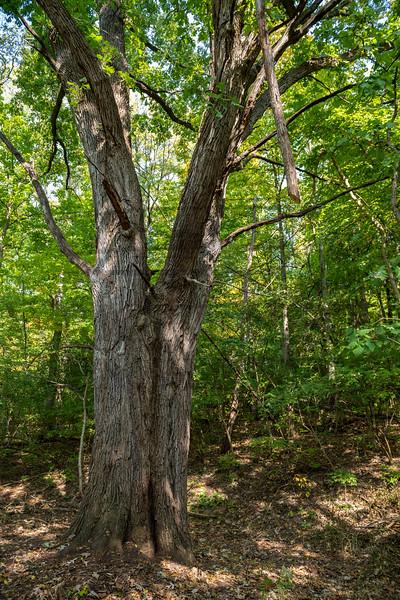 55310 Burr Oak Tree 10-15-20